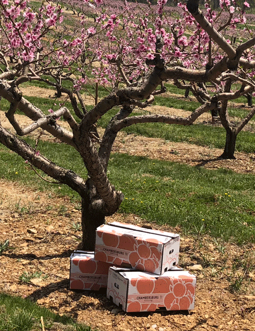 Chambersburg peach tree with boxes